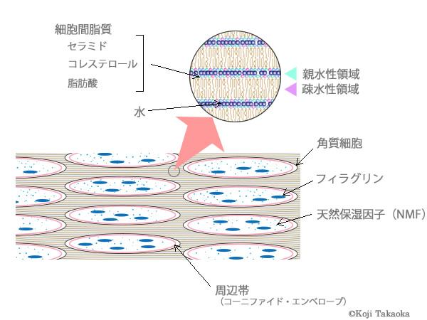 角質層の図